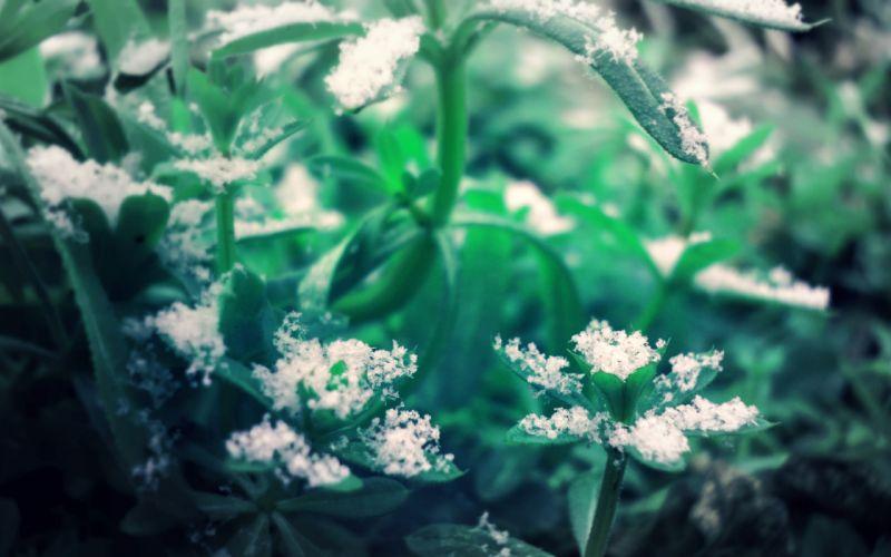 snowflakes snow plants leaves wallpaper