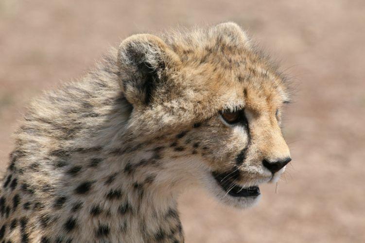 cheetah wild cat muzzle g wallpaper