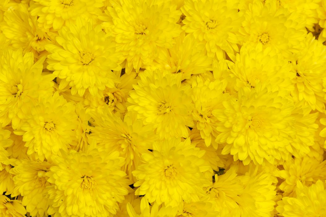 chrysanthemums yellow close up wallpaper