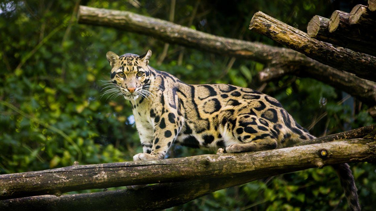 clouded leopard wild cat wallpaper