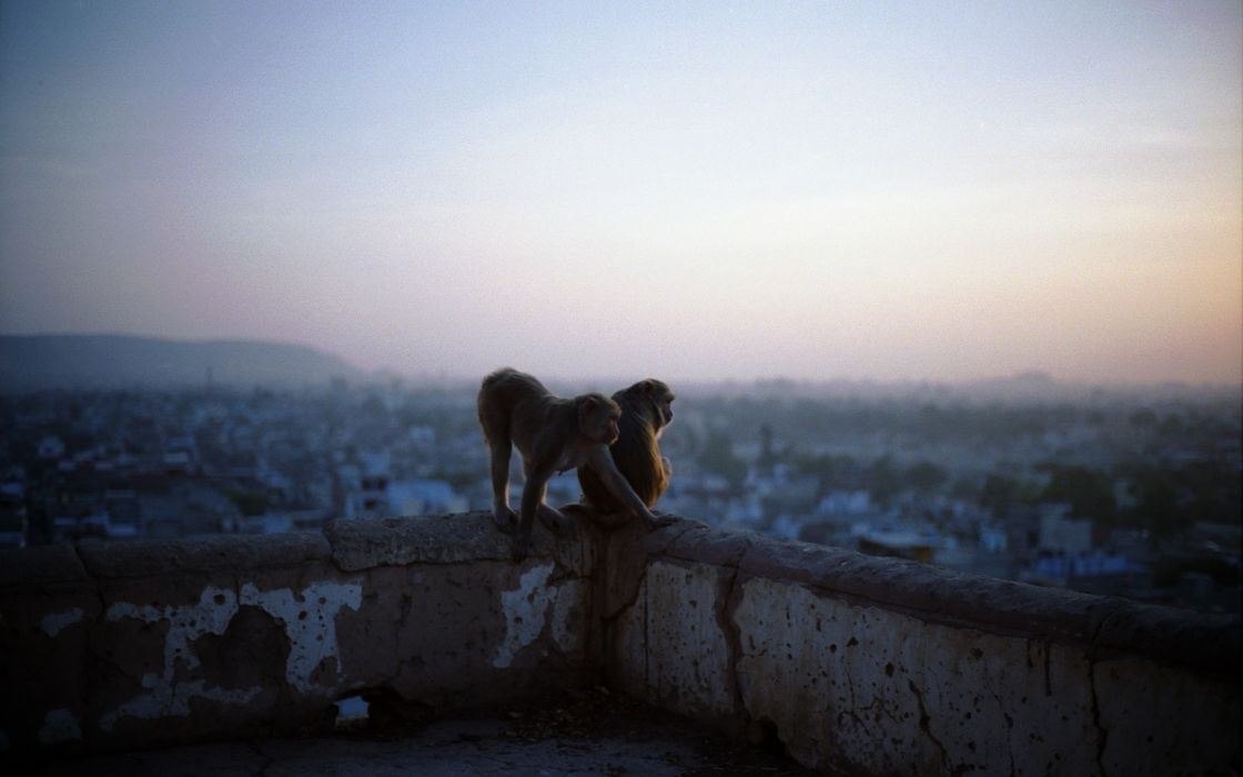 dawn animals pets city landscape monkeys wallpaper