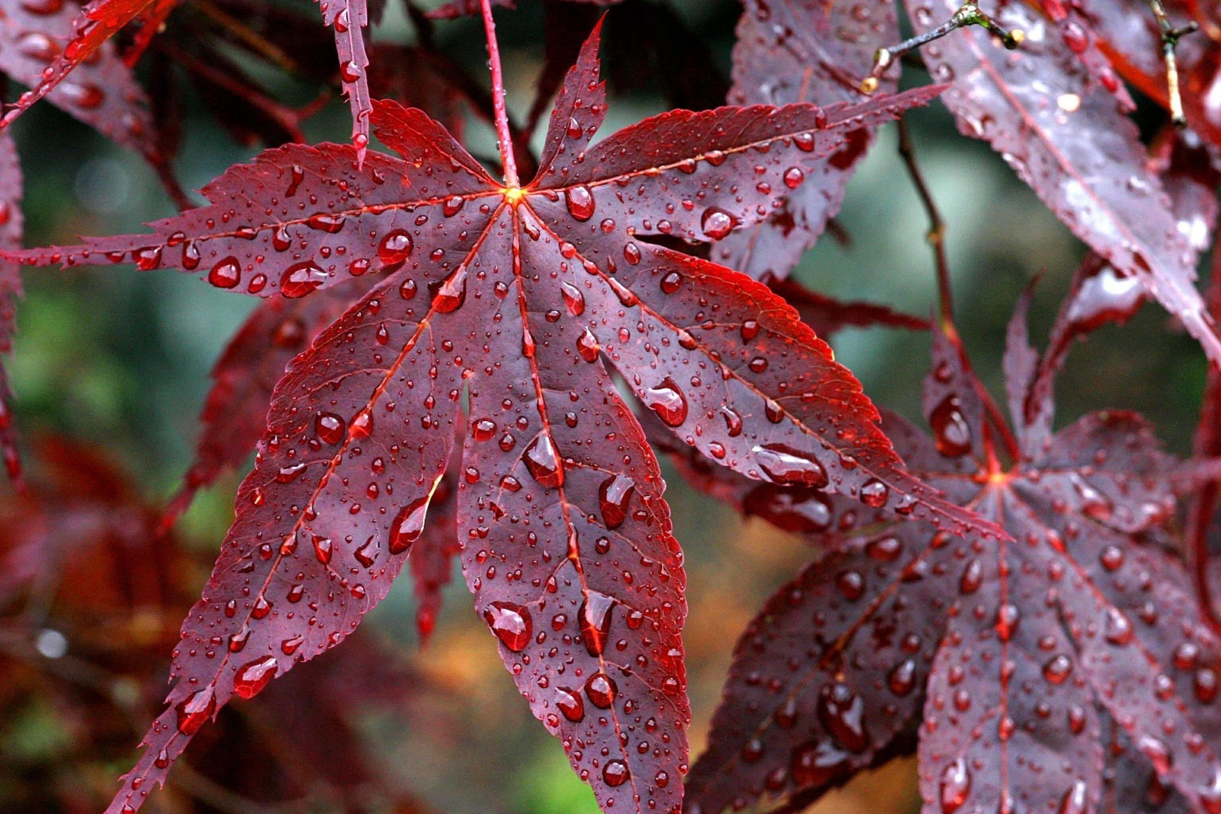Drops Rain Veins Red Autumn Leaves Wallpaper