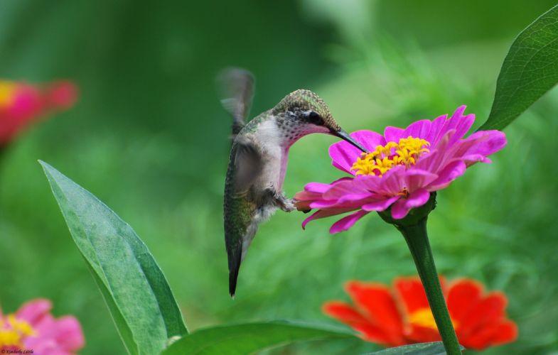 flowers birds hummingbirds tsiniya pink wallpaper