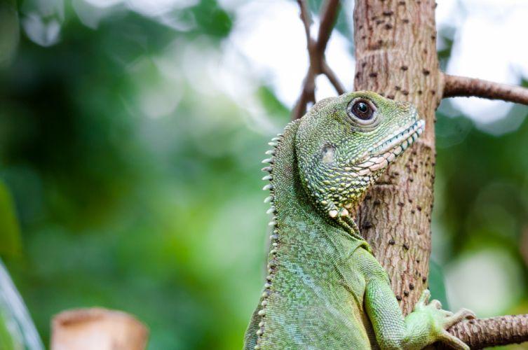 iguana lizard wallpaper