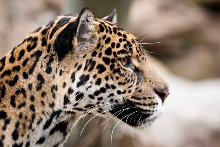 jaguar wild cat face profile wallpaper