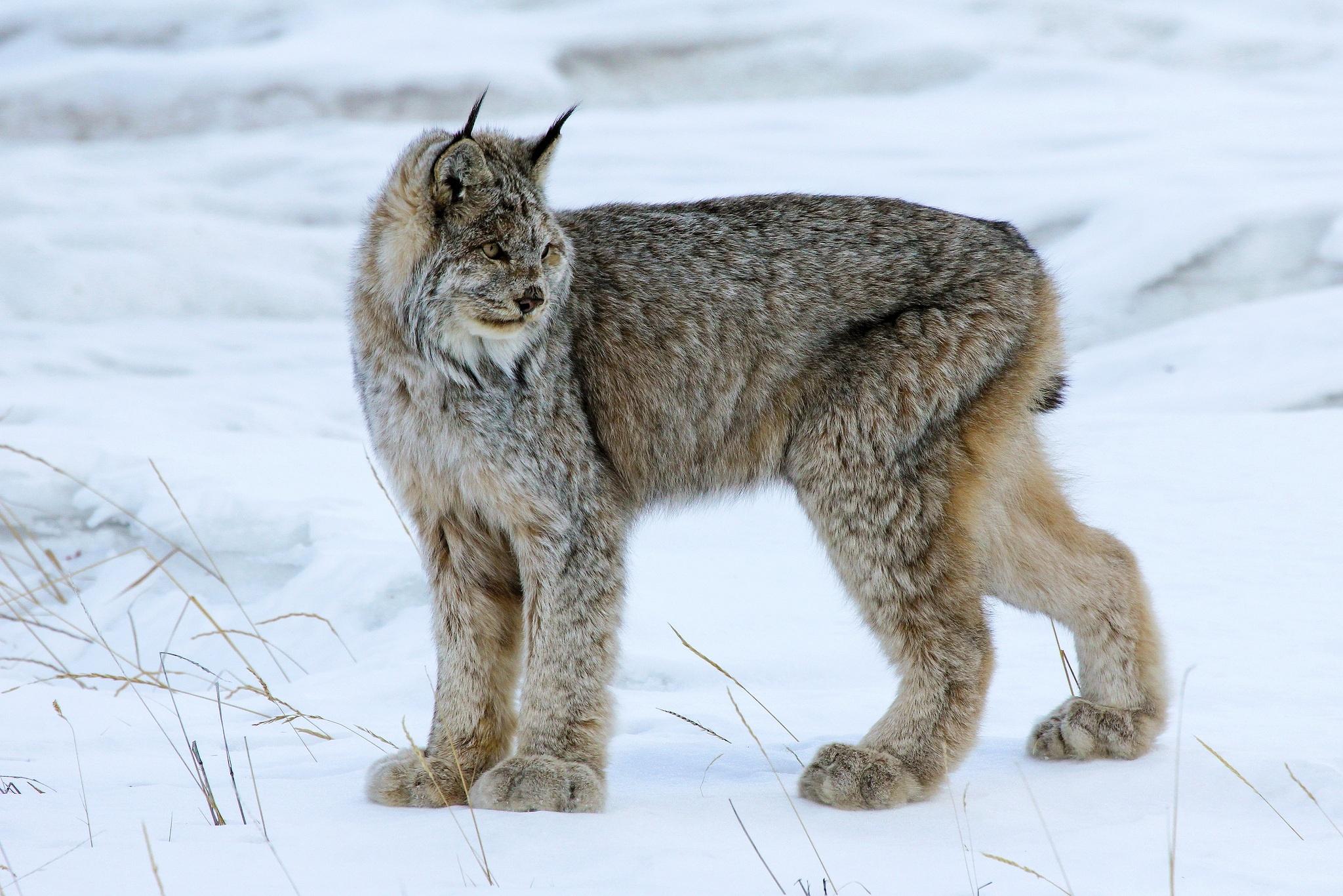 Lynx cat - photo#9