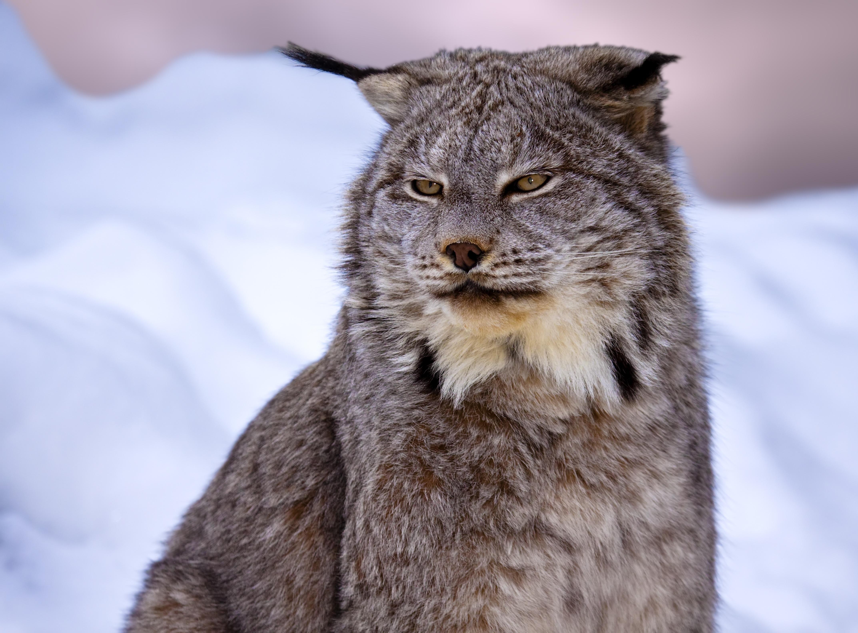 lynx cat: