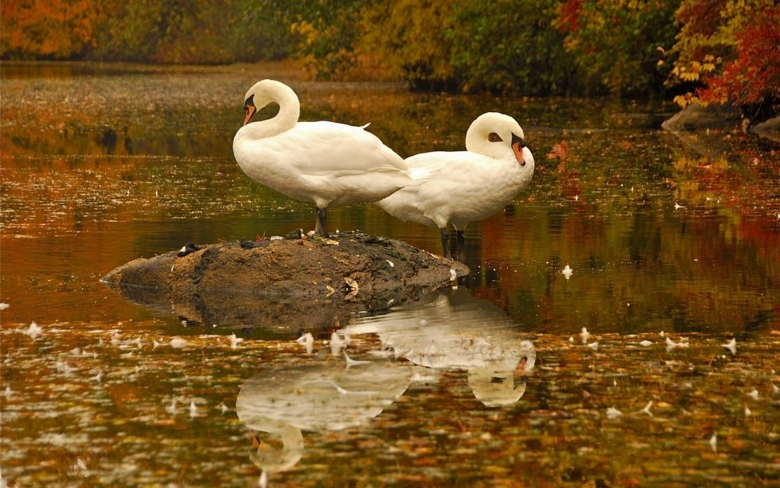 pond water birds swans leaves white reflection wallpaper