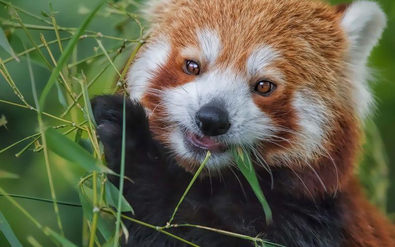 red panda bamboo eating wallpaper