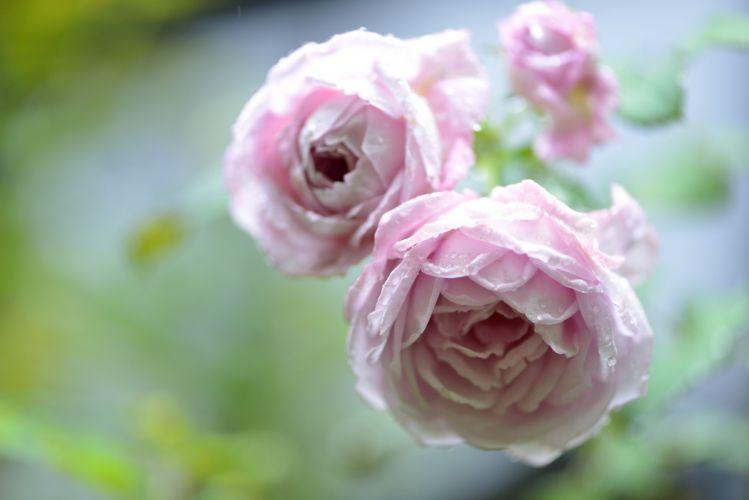 roses buds drops bokeh wallpaper