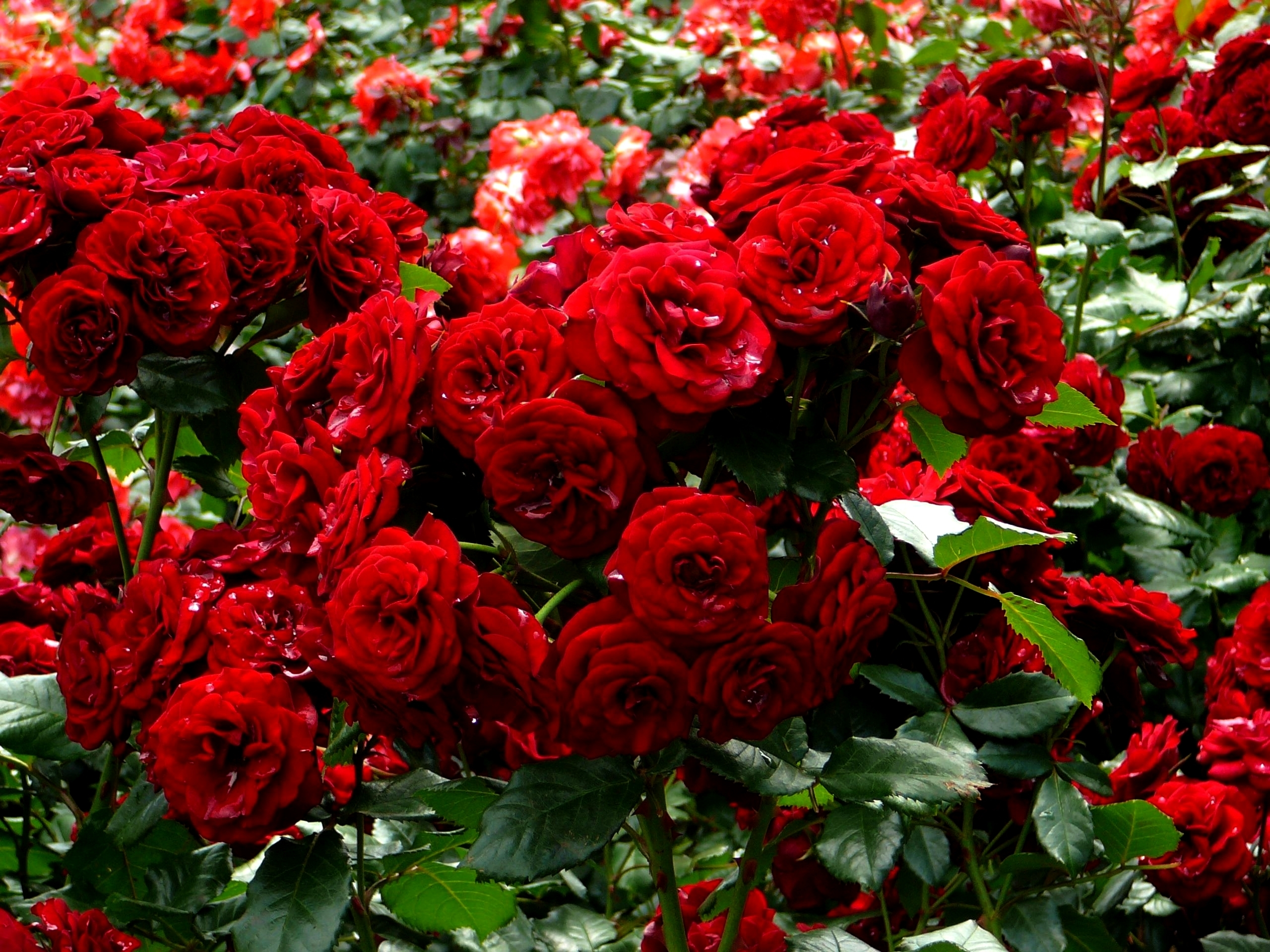 Roses many red shrubs flowers e wallpaper 2560x1920 for Arbustos de jardin fotos