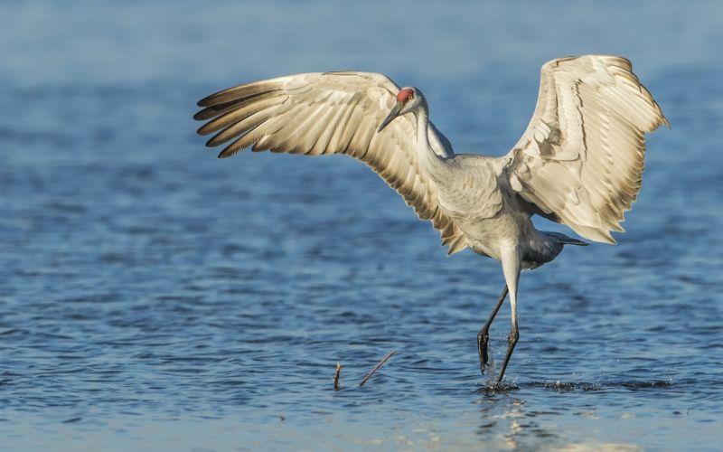 sandhill crane bird wings water wallpaper