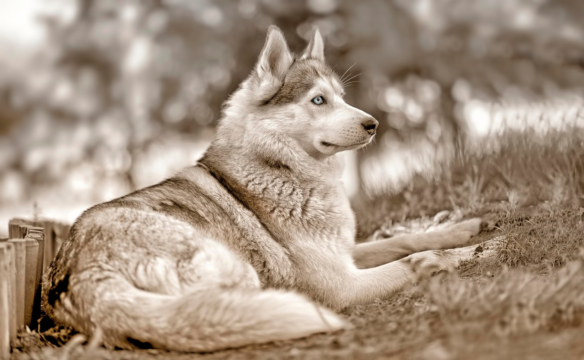 Siberian husky blue eyes wallpaper | 1920x1185 | 169620 ...