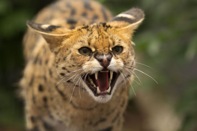 serval a wild cat face teeth rage jaws teeth wallpaper