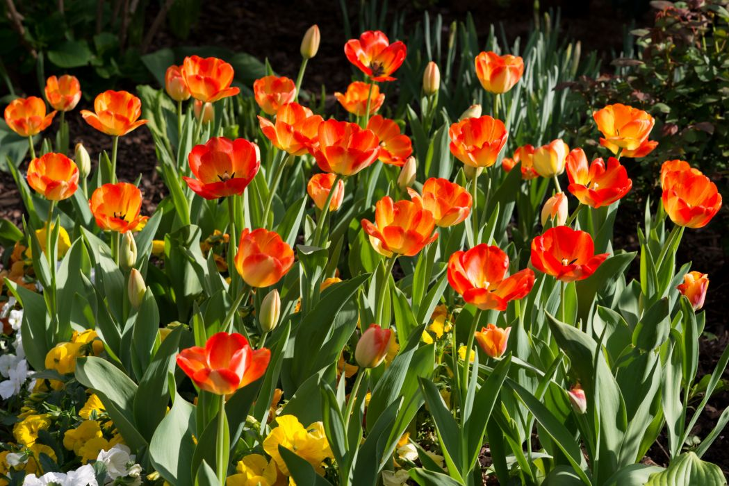 Tulips Flowers   e wallpaper