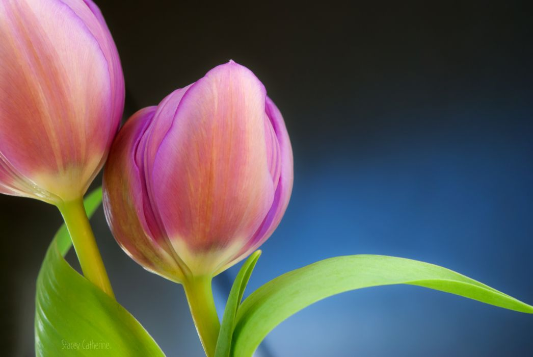 tulips buds close-up wallpaper
