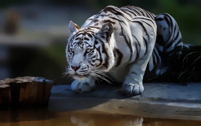 white tiger nature predator look wallpaper