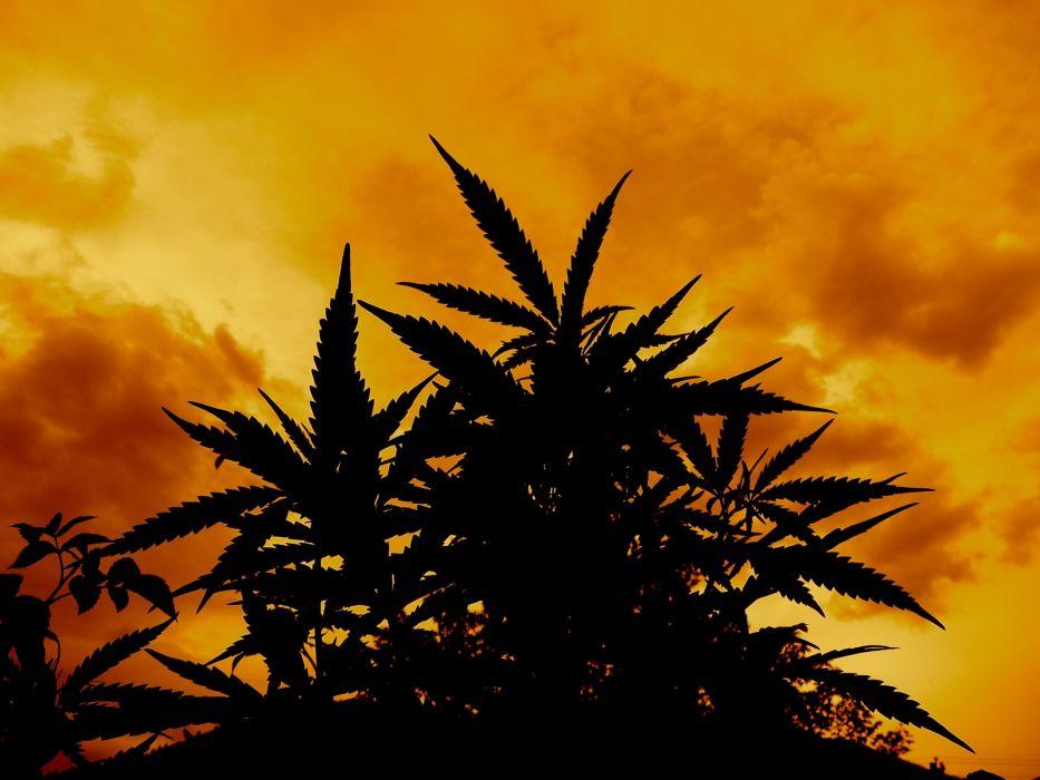 marijuana weed 420 ganja   te wallpaper