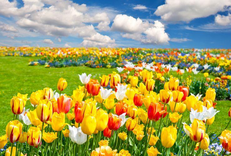 tulips field nature flowers landscape wallpaper