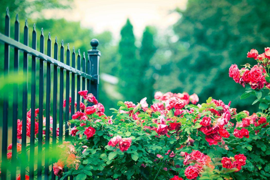 rose bush flowers fence pink wallpaper