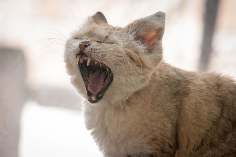 sand cat Pussycat yawn wallpaper