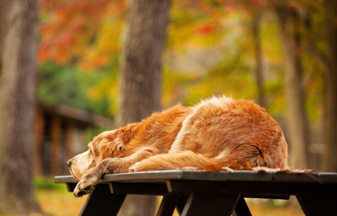 retriever dog golden wallpaper