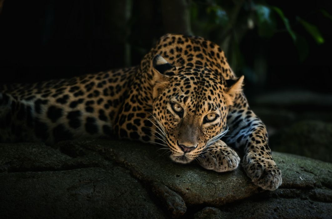 predator lying face leopard wallpaper