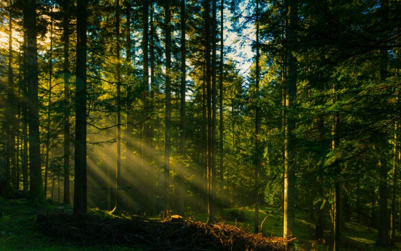 rays trees forest sun wallpaper