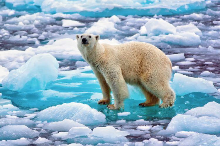 polar bear bear ice wallpaper
