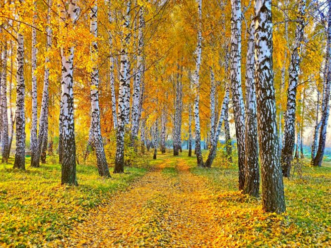 nature landscape autumn road yellow leaves and birch wallpaper