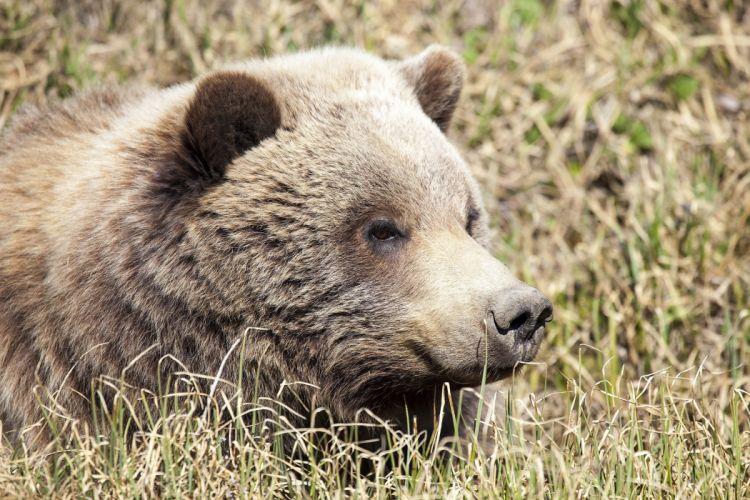 Bear muzzle wallpaper