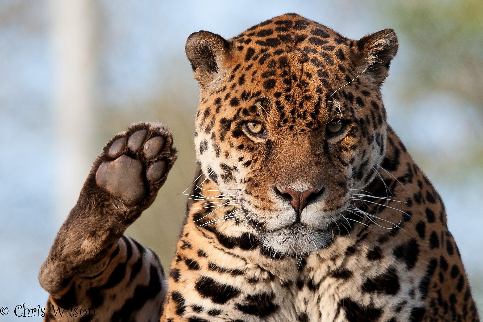Jaguar animal paw - photo#2