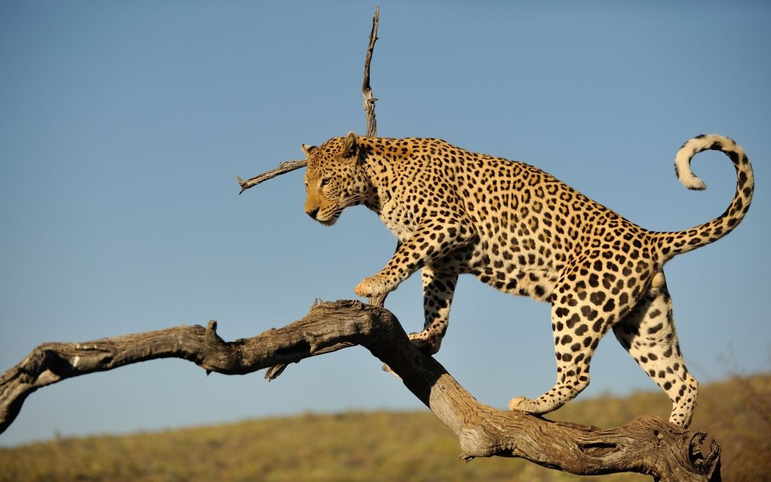 Big cats Leopards Branches Animals wallpaper