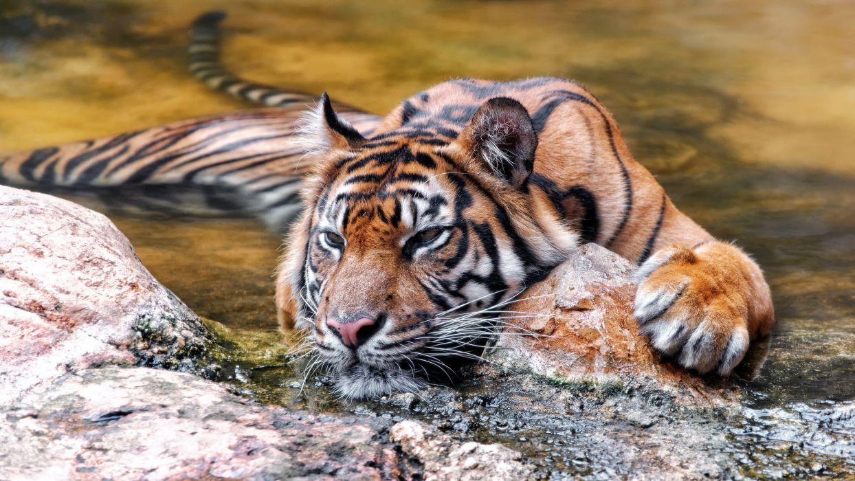 Big cats Tigers Animals wallpaper