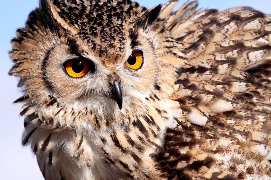 Birds Owls Glance Animals wallpaper