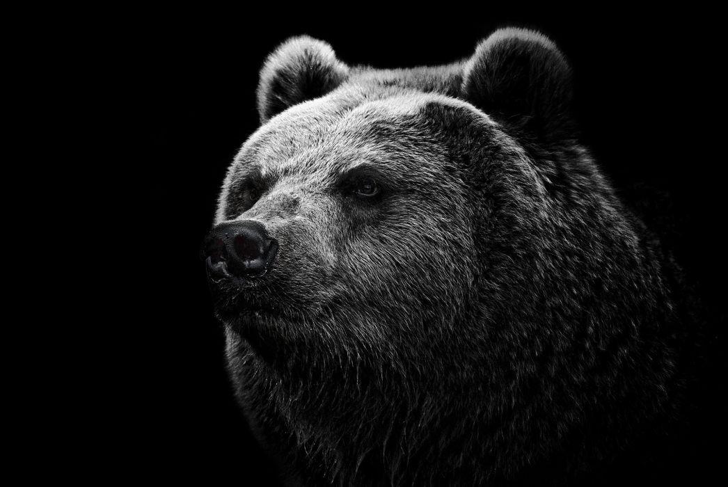 Black Bear Wallpaper 2048x1371 171900 Wallpaperup