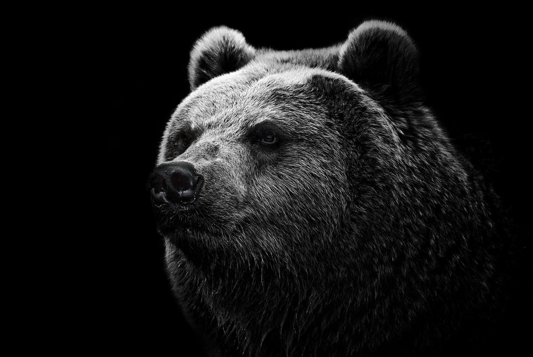 black bear wallpaper 2048x1371 171900 wallpaperup