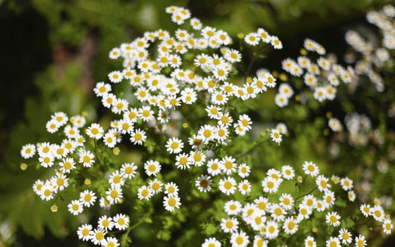 Camomiles Many Flowers wallpaper