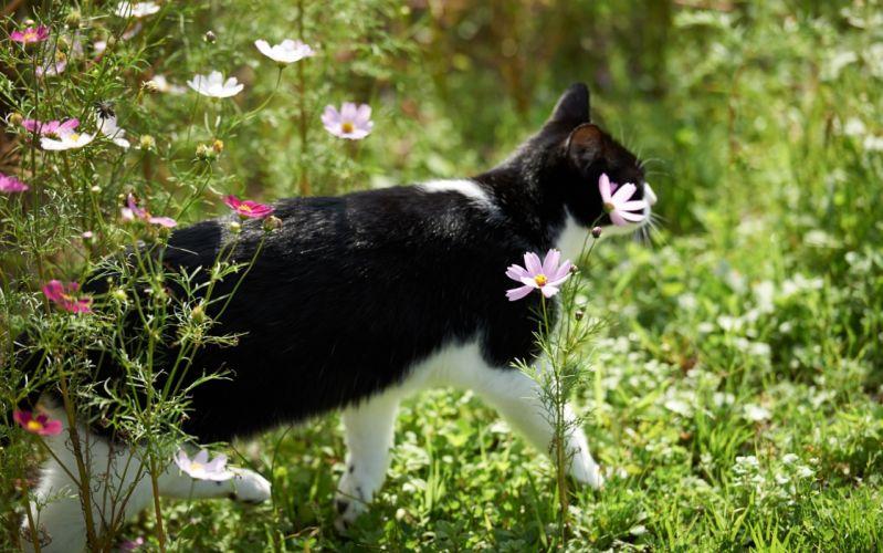 cat flowers kosmeya wallpaper