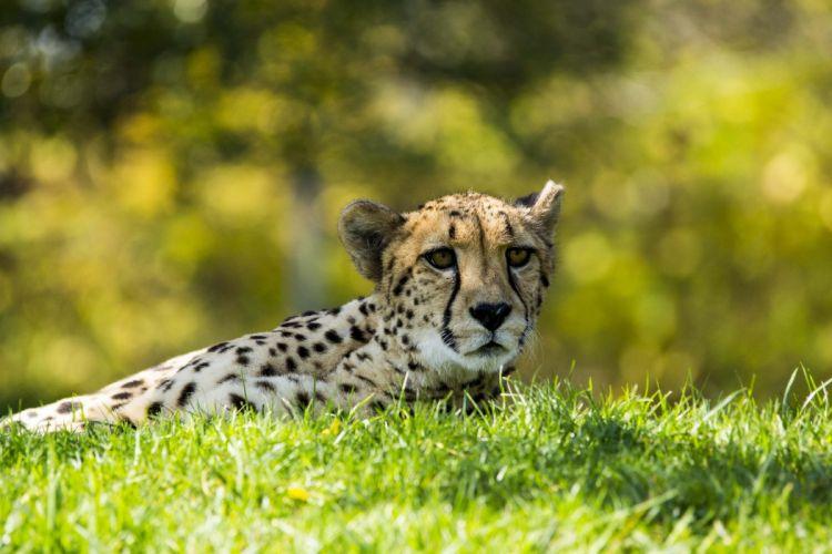 cheetah wild cat muzzle wallpaper