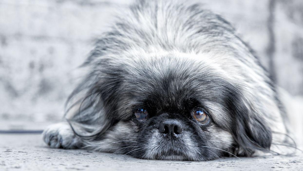 dog Pekingese eyes muzzle wallpaper