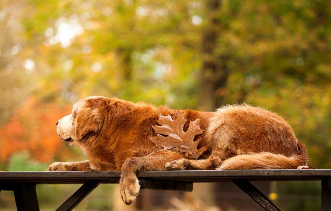 Dogs Golden Retriever Animals wallpaper