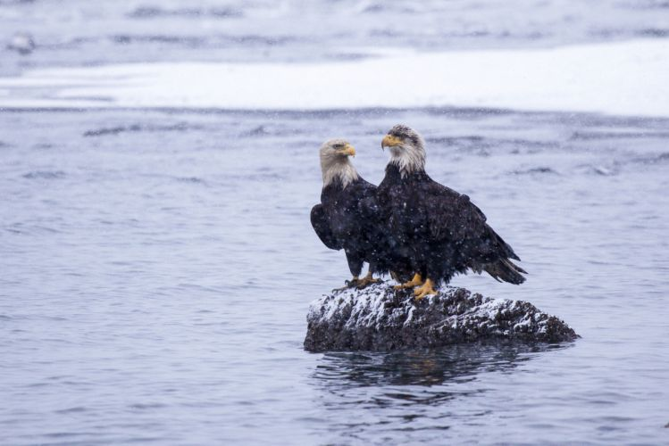 eagle bird Alaska Kachemak Bay water stone snow winter wallpaper