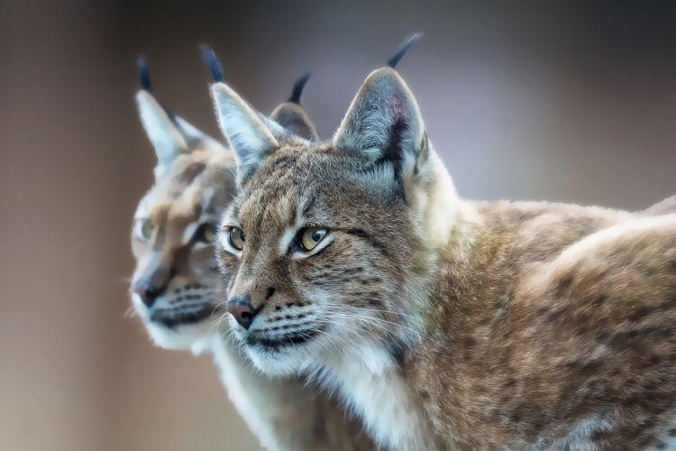 Eurasian lynx wallpaper