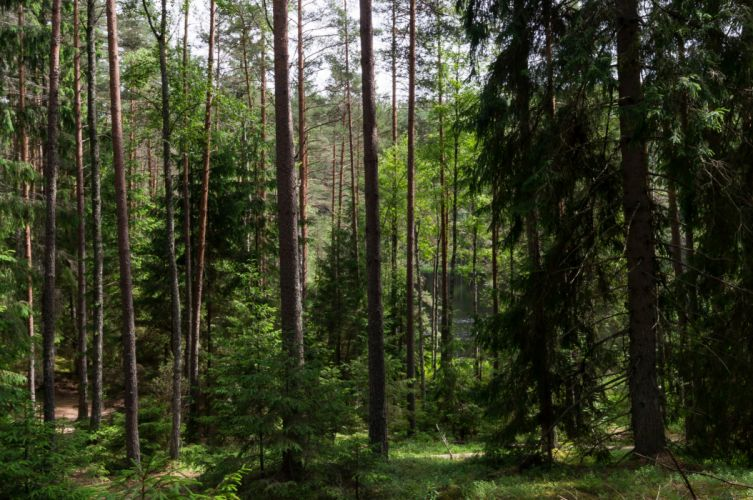 Forests Belarus Trees Nature wallpaper