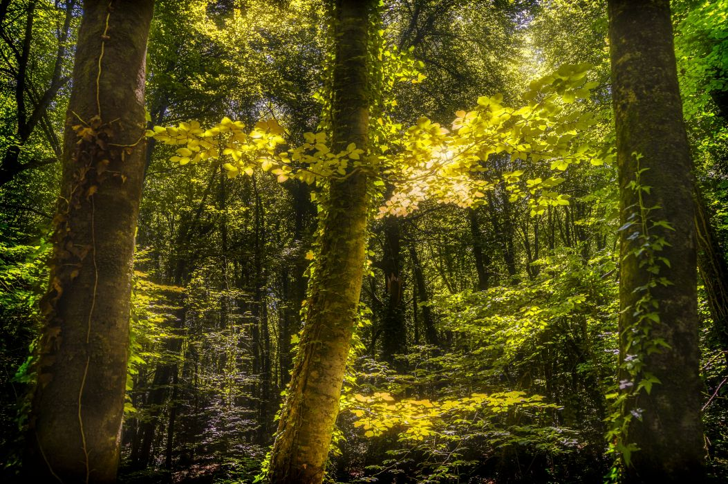 Forests Trees Nature wallpaper