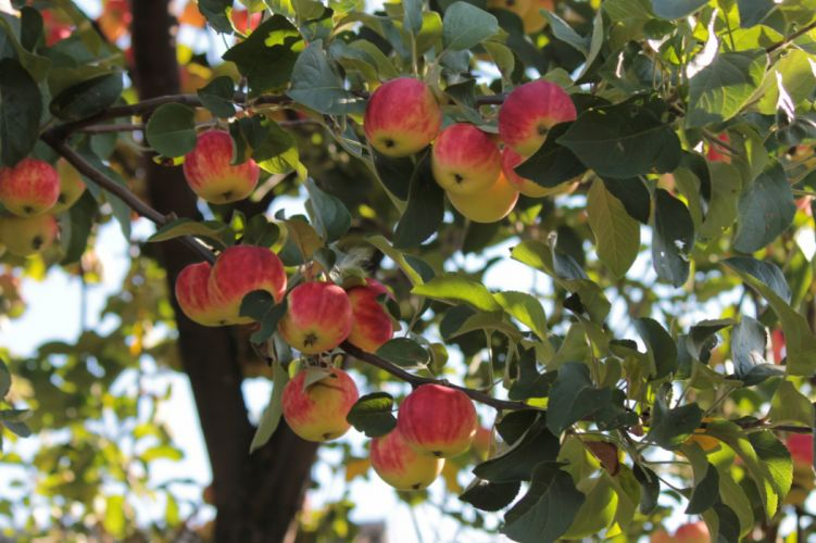 Fruit Apples Foliage Food wallpaper