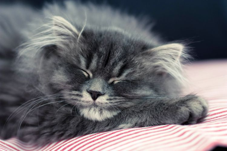 gray kitten cat wallpaper