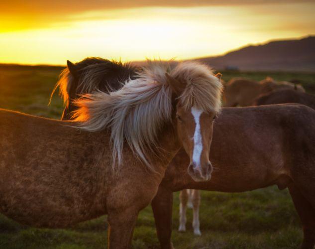 Horses Animals wallpaper