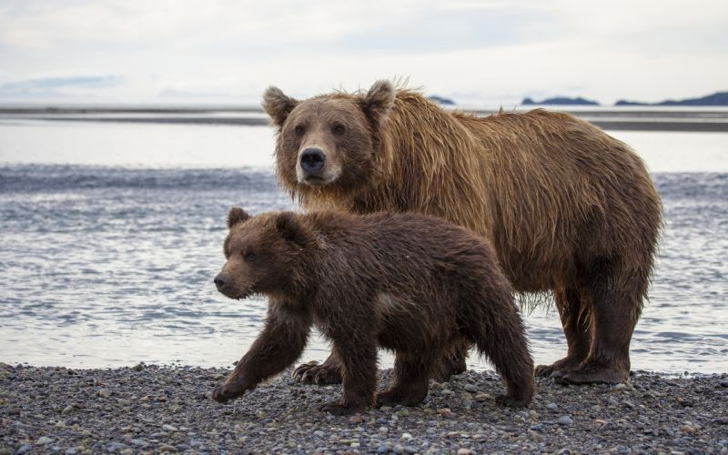 Katmai National Park Alaska brown bear wallpaper